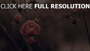 rosen blütenblätter fall retro zarten blüten
