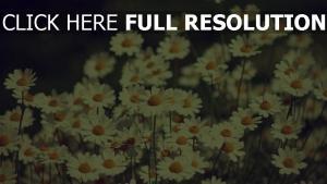 gänseblümchen blüte frühling retro-foto