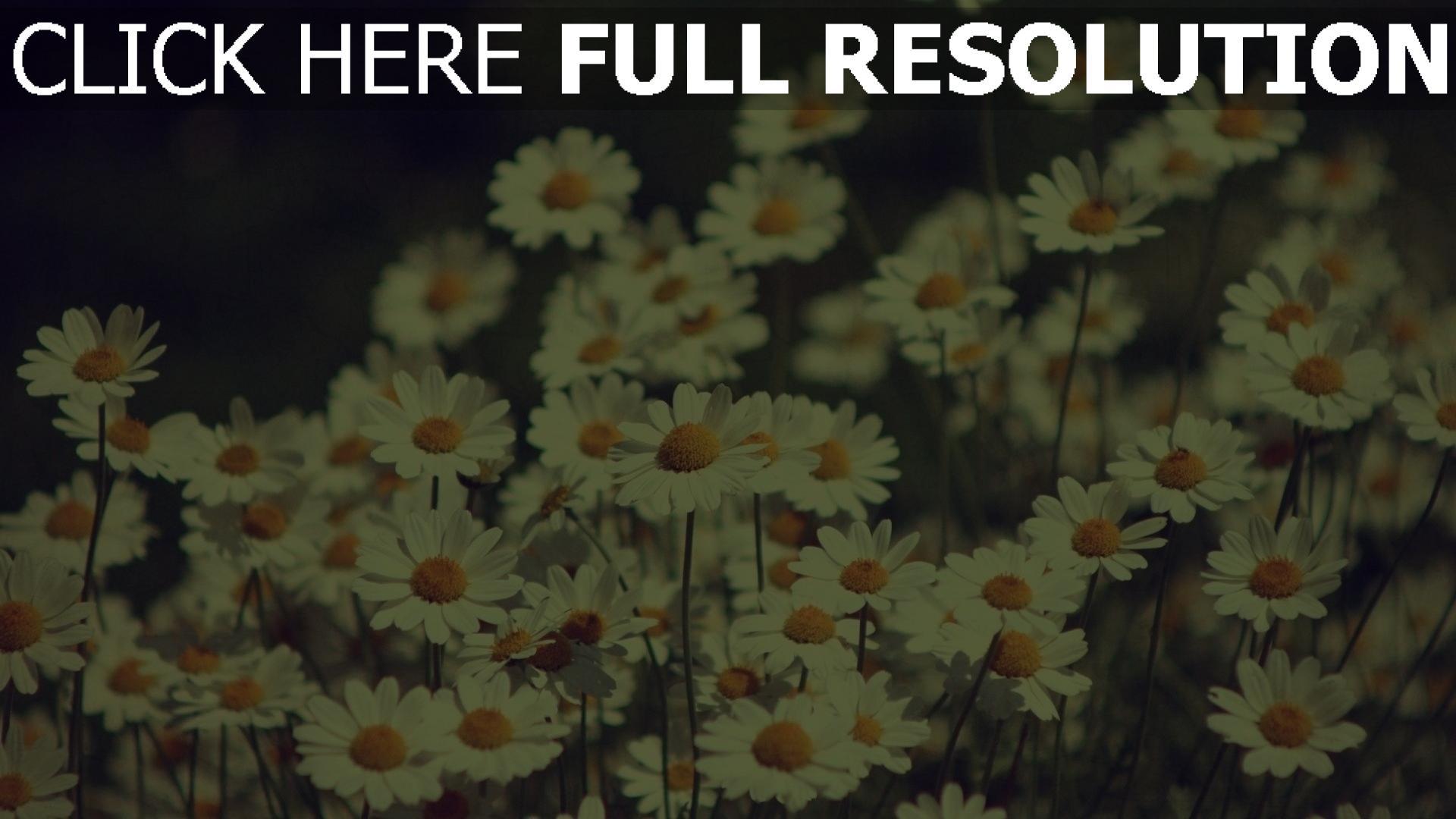 herunterladen  full hd hintergrundbilder gaensebluemchen bluete fruehling retro foto p