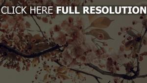 blühenden blütenblätter sakura rosa frühjahr