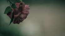 blütenblätter rose blüte zart retro-foto
