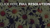 wildblumen  margeriten  kern strauß