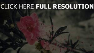 blume rosenblüten blätter stimmung melancholie
