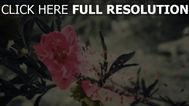 hd hintergrundbilder blume rosenblüten blätter stimmung melancholie