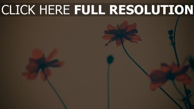 hd hintergrundbilder blumen roten blütenblätter unschärfe retro