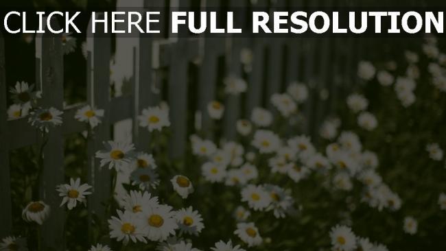 hd hintergrundbilder gänseblümchen garten zaun frühling blühen