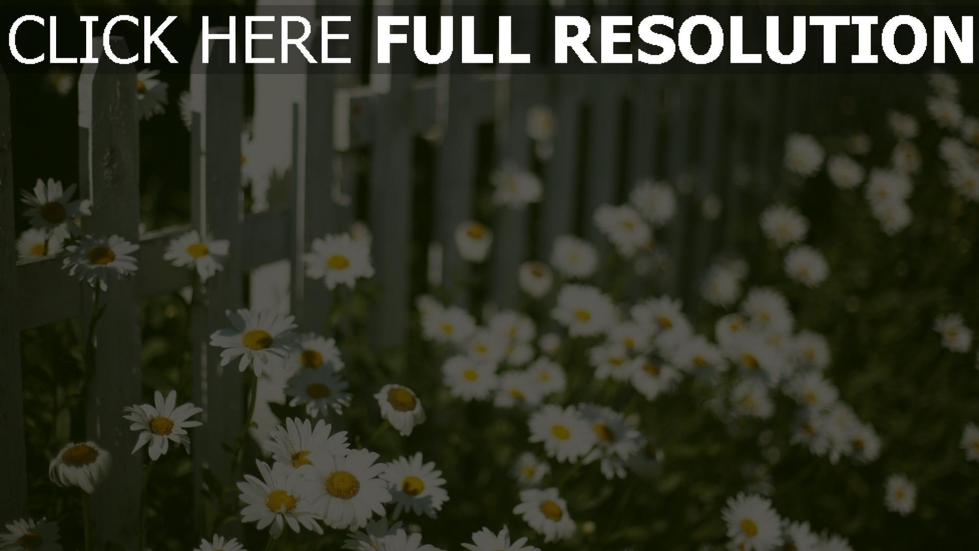 hd hintergrundbilder gänseblümchen garten zaun frühling blühen 1920x1080