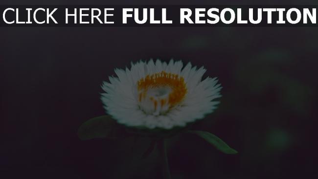 hd hintergrundbilder blumen blüten niedlich unschärfe