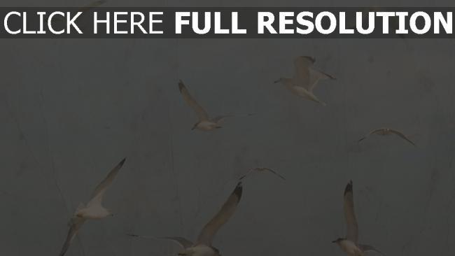 hd hintergrundbilder vögel möwen flug retro-foto