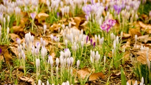 krokusse schneeglöckchen frühling gras blume blatt