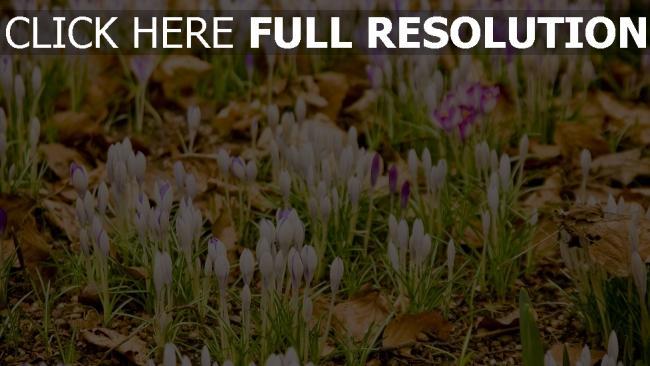 hd hintergrundbilder krokusse schneeglöckchen frühling gras blume blatt