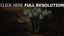 blütenblätter erde schneeglöckchen unschärfe