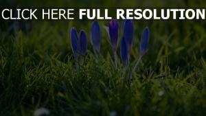 frühling krokus blauen blütenblätter gras wiese
