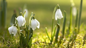 schneeglöckchen gras weißen blütenblätter zart frühling
