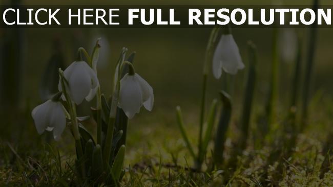 hd hintergrundbilder schneeglöckchen gras weißen blütenblätter zart frühling