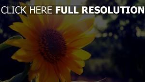 strahlen sonne sonnenblume herz sommer