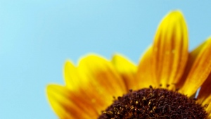 himmel blütenblätter blume sonnenblume makro