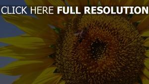 sonnenblumen blütenblätter gelb biene insekt