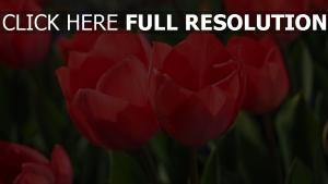 rote tulpen blüten stängel blätter