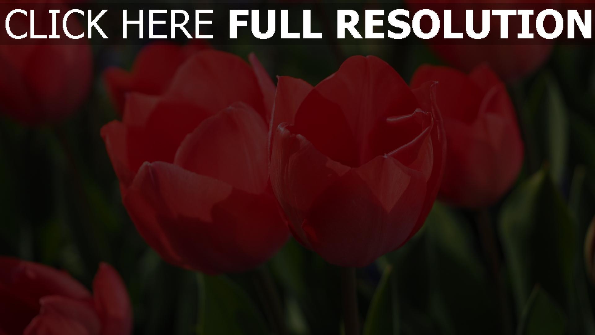 hd hintergrundbilder rote tulpen bl ten st ngel bl tter desktop hintergrund. Black Bedroom Furniture Sets. Home Design Ideas