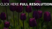 tulpen frühling blüten stengeln gras