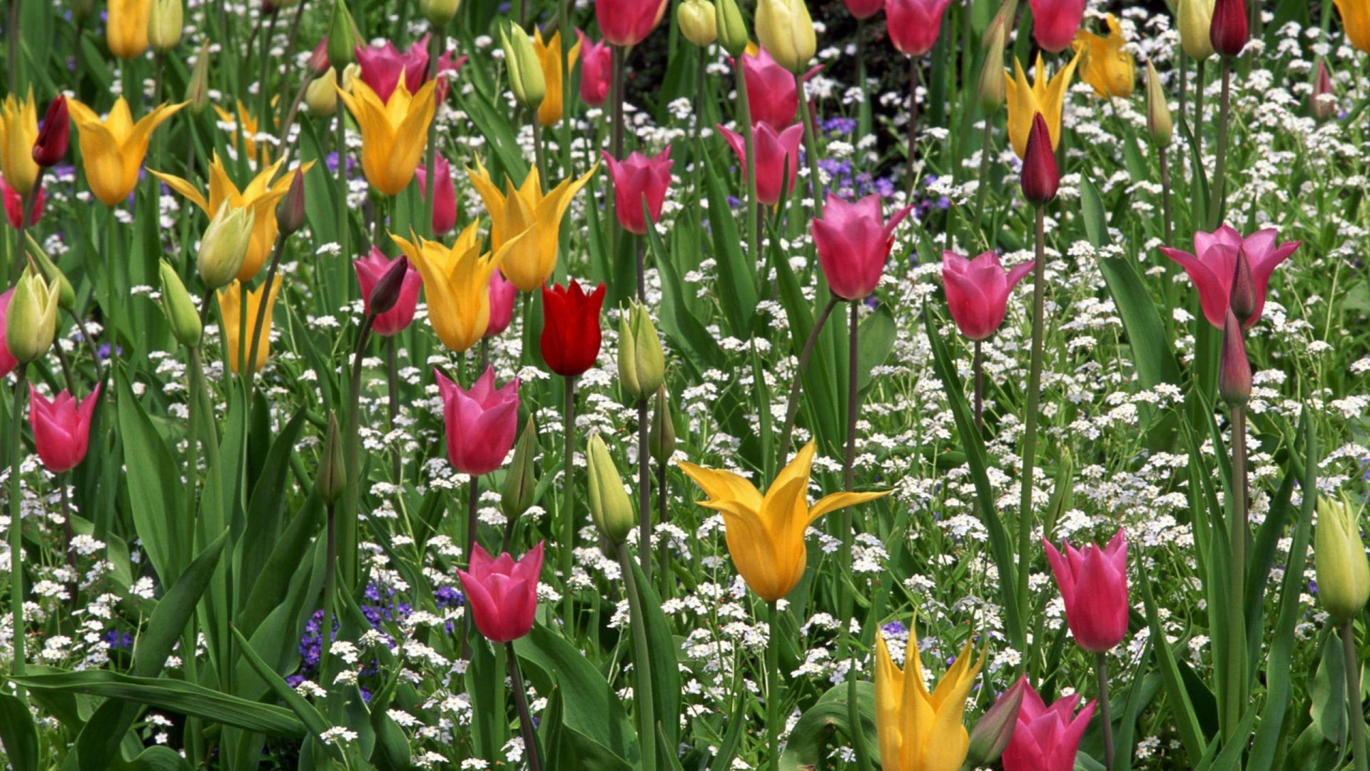Hd Hintergrundbilder Tulpen Garten Blühen Pflanzen Stengel Rosa ... Tulpen Im Garten Pflanzen