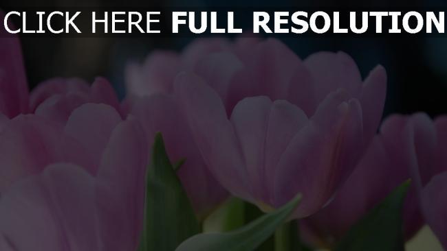 hd hintergrundbilder blütenblätter rosa tulpen zart bokeh