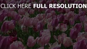 garten blühende set tulpen rosa
