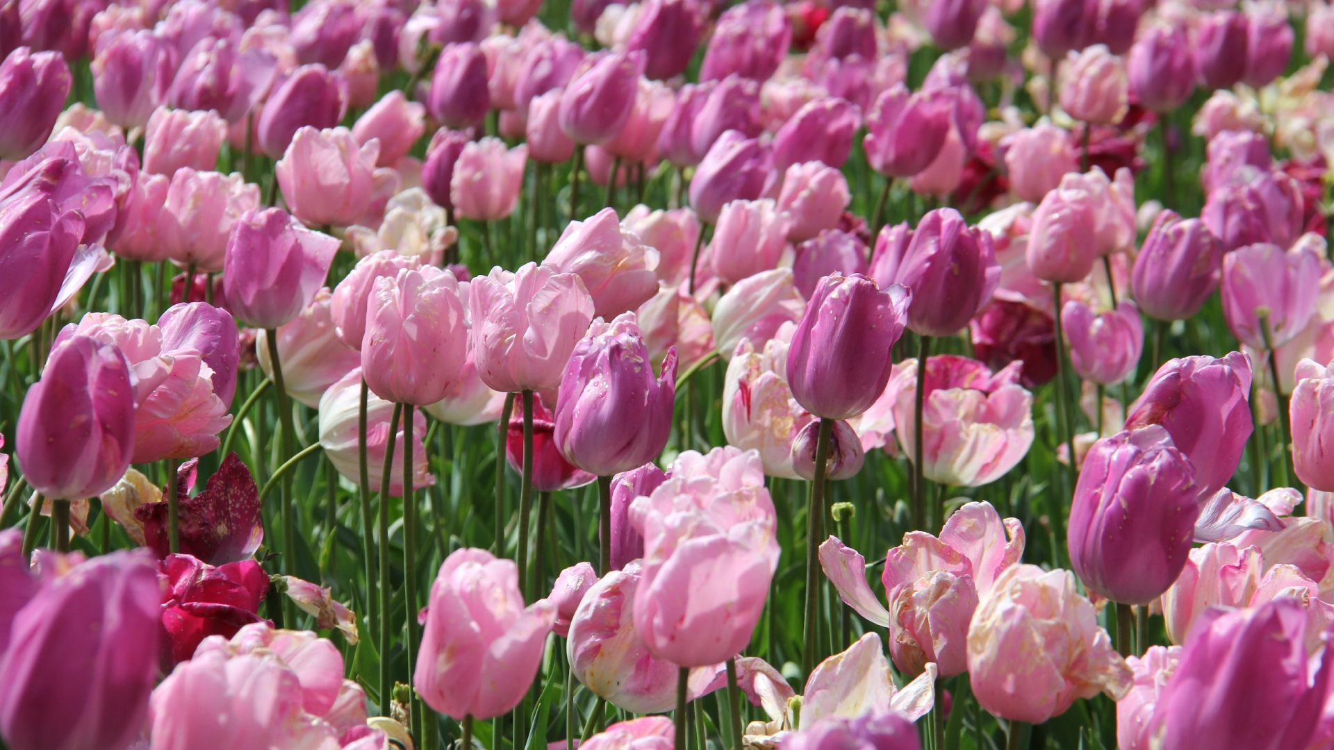 Field Of Tulpen Set