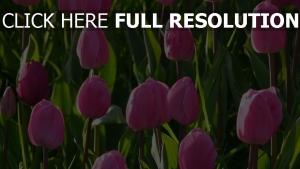 tulpen garten blühen pflanzen stengel rosa blüten