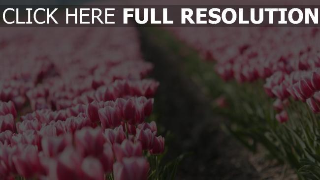 hd hintergrundbilder tulpen rosa bl ten bl te garten desktop hintergrund. Black Bedroom Furniture Sets. Home Design Ideas