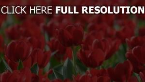 roten blüten tulpen set blüte frühling