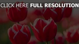 tulpen blütenblätter rot stengel