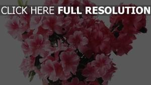 azalee rosenblätter blumen blütenstand
