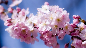 apfel blüte blütenblätter weiß rosa staubblätter