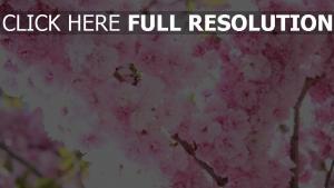blüte sakura blüten rosa zart