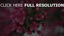 rosa blüten blüte frühling blätter unschärfe