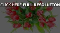 tulpen blumen blütenblätter rot