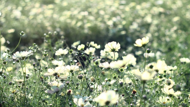 hd hintergrundbilder blüte wilde blumen weißen blütenblätter wiese