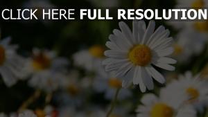 wildblumen weiß herz pollen gänseblümchen