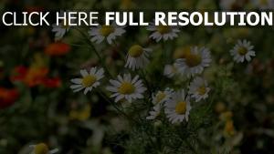 gänseblümchen wilde blumen stengel weißen blüten