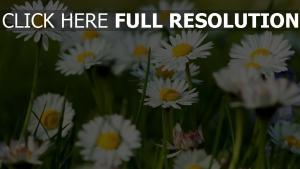 gänseblümchen blütenblätter weiß blüte wiese