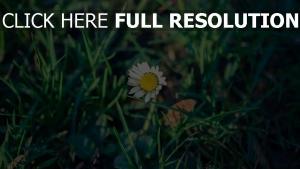 gänseblümchen blume gras land wiese frühling