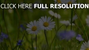 gänseblümchen wiesenblumen gras frühling blühen