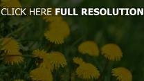 löwenzahn stengel gras frühling gelben blüten