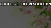 blütenblätter weiß rosa empfindlich blühende apfelbaum