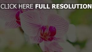 orchidee blütenblätter gestreift verwischen weiß