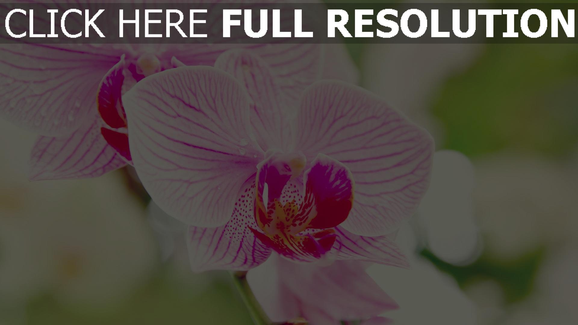 Wallpaper orchidee weiß  HD Hintergrundbilder orchidee blütenblätter gestreift verwischen ...