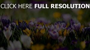 krokus blau gelb weiß frühling blühen