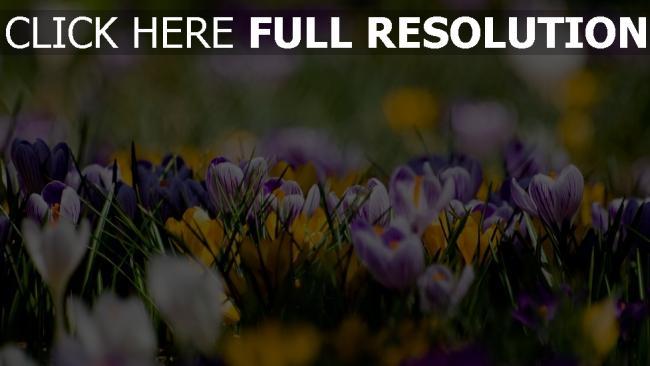Super HD Hintergrundbilder krokus blau gelb weiß frühling blühen &GV_65